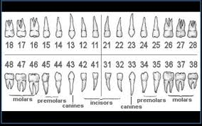 Dental Numbering Chart Mdental Clinic Decoding Dental Numbering System