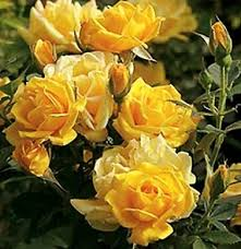 Image result for the yellow rose of texas