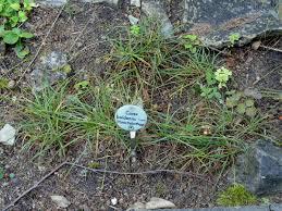 Carex baldensis – Wikipedia