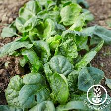 garden seed. Spinach Avon Hybrid Seed Garden