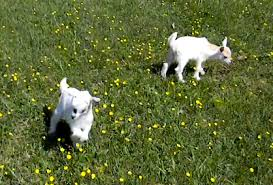 cute of the day dancing baby goats