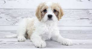 Cavachon Puppy Weight Chart Cavachon The Cavalier King Charles Bichon Frise Mix