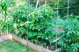 small tomato cages tomato horn worms the small space big harvest garden