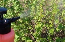fertilizing currants fertilization