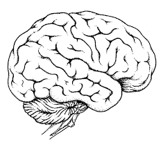 Diagram Of Human Brain Anatomy