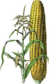 Marvelous Free Vintage Corn Image