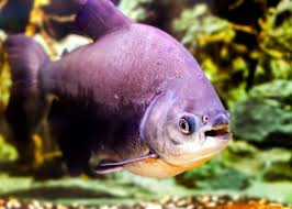 49 Pacu Fish Facts What You Need To Know Everywhere Wild