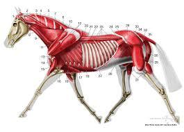 Equine Deep Musculature Anatomy Chart Horse Anatomy