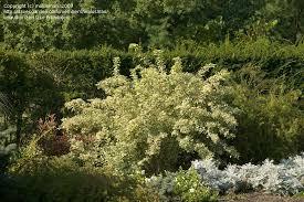 Trees Shrubs And Conifers Eleutherococcus Sieboldianus