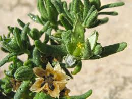 Aizoon hispanicum L.   Flora of Israel Online