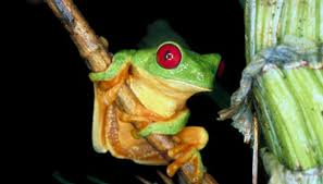 amazon rainforest plants and animals. Bullfrog Is An Example Of Exotic Wildlife That Adapted To The Rainforest Amazon Plants And Animals