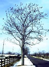 Kentucky coffee trees can reach 100 feet in deep, bottomland soil, but on upland sites it's usually half as tall. Kentucky Coffeetree Department Of Horticulture