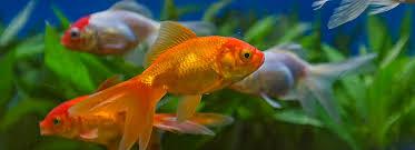petsmart goldfish tank. Contemporary Petsmart Article Hero Image On Petsmart Goldfish Tank