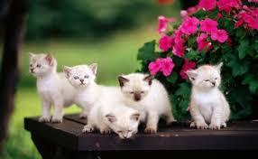 beautiful white cats wallpaper. Plain Wallpaper White Cat Wallpaper For Beautiful Cats I