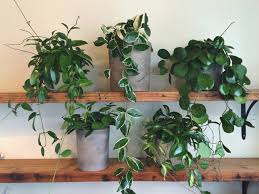 hoya plant care for our five favorite cultivars