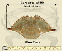Md Crab Size Chart Blue Crabs Atlantic Maryland Fishing Regulations 2019