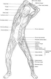 Small Picture Anatomy Muscle Coloring Pages Images Human Anatomy Learning