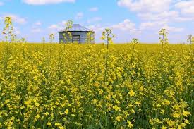 Image result for Pictures of crops grown in saskatchewan