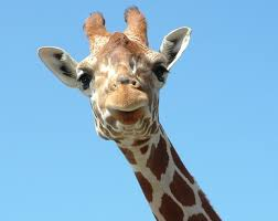 pictures of a giraffe. Beautiful Pictures Giraffe1396129639x508 For Pictures Of A Giraffe