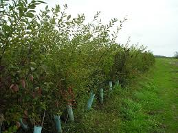 Hedgerow Of Different Varieties Of Apple Trees  Dave Wilson Fruit Tree Hedgerow