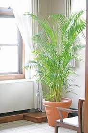 tall office plants. Tall Indoor Plants That Are Beautiful And Easy To Maintain Office