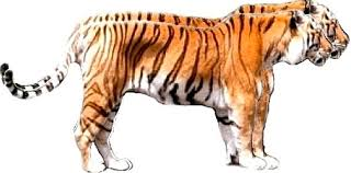 siberian tiger vs bengal tiger. Simple Siberian Sumatran Tiger Vs Bengal Size And Siberian Vs