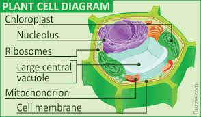 A Labeled Diagram Of The Plant Cell And Functions Of Its