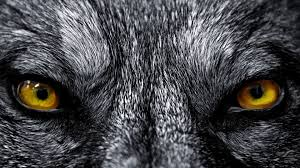 Wolves Screensavers And Wallpaper ...