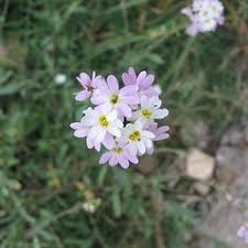 Berteroa mutabilis (roadside false alyssum): Go Botany