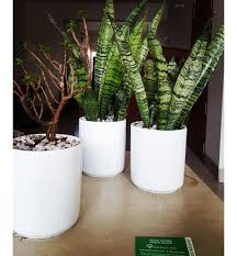 snake plant indoor plant with ceramic pot