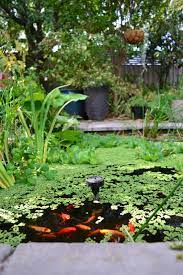pond azolla water lily water lettuce