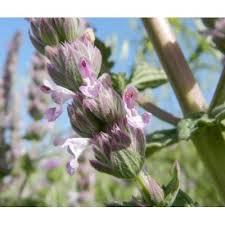Genere Nepeta - Flora Italiana