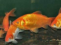 Fantail Goldfish Growth Chart Common Goldfish Carassius Auratus Goldfish Information