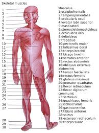 List Of Skeletal Muscles Of The Human Body Wikipedia