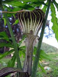 Araceae in Flora of China @ efloras.org
