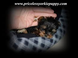 Yorkie Weight Chart Priceless Yorkie Puppy