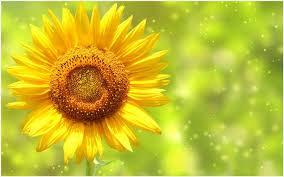 sunflower wallpaper hd sunflower wallpaper full hd sunflower wallpaper hd