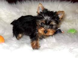 baby yorkshire terrier. Brilliant Baby Baby Yorkshire Terrier Today In History And The Lead CRA Blog Traffic  Statistics O