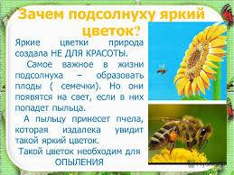 Презентация на тему Солнечный Цветок Доклад выполнил Морозов  5 Зачем подсолнуху
