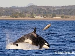 killer whales eating dolphins. Photographer Captures Stunning Killer Whale Attack On Dolphin And Whales Eating Dolphins