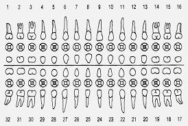 Pfizer Dental Chart 78 Symbolic Pfizer Dental Chart