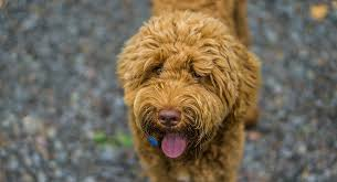 Labradoodle Color Chart Red Labradoodle How Does This Popular Color Affect Your