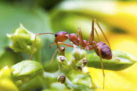 dealing with fire ant pests learn how
