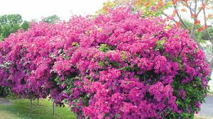bougainvilla grown as hedge