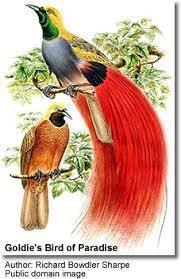 Goldie's Bird of Paradise | Beauty of Birds