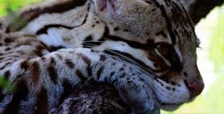 ocelot size about the endangered ocelot in texas the nature conservancy