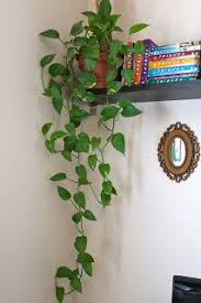 #plants #decoration Philodendron - I love how easy these plants are to  maintain and. House Plants HangingVine ...