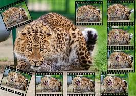 slides img 9336s jpg wildlife feline big cat cat predator