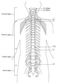 Topographic And Functional Anatomy Of The Spinal Cord Gross