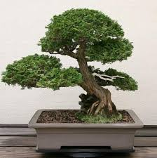 20 seeds bag juniper bonsai tree seeds potted flowers office bonsai purify the air bonsai tree office